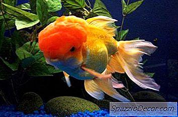 Como Manter Um Tanque Goldfish Limpo