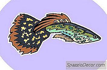 Como Saber Peixes Guppies São