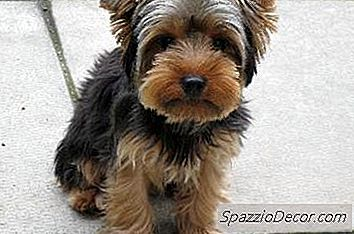 Como Potty Treinar Um Yorkshire Terrier