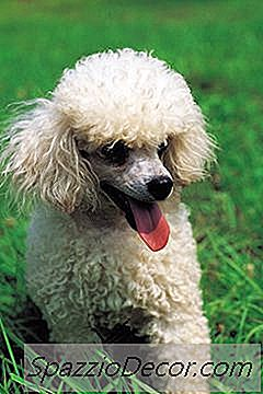 How To Stop Poodles De Licking