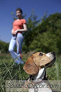 Beagle Hiperactive