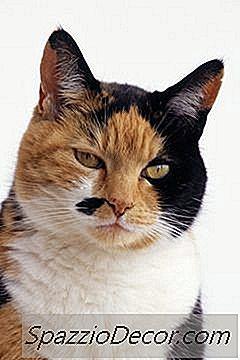 Incontinencia Y Hormonas En Gatos
