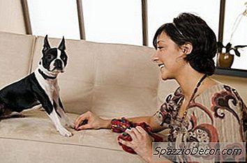 Omvendt Nysing I Boston Terrier