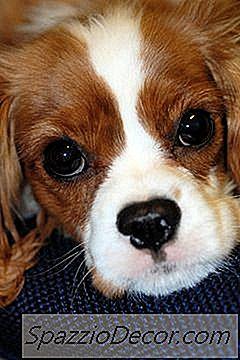Lista De Spaniel Breeds