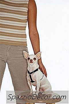 Prostatit chihuahua UPR Prostatitis