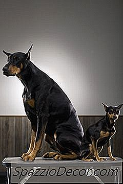 Doberman Miniatura Hair Care