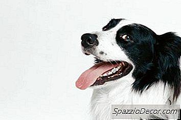 Natuurlijke Remedies Voor Rode Tandvlees Bij Honden