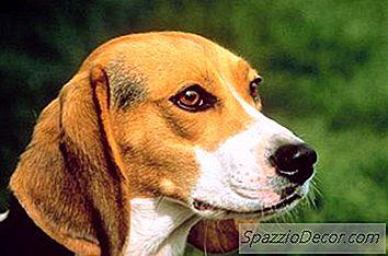 Normal Beagle Høyde Og Vekt