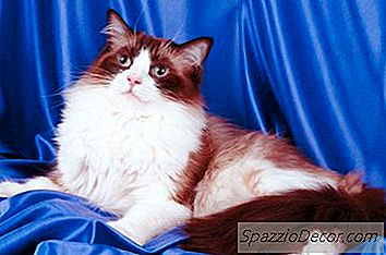Peso Normal De Ragdoll Cats