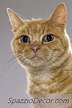 papiloma boca gato