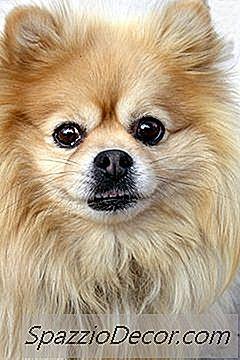 Pomeranian Sygdomme