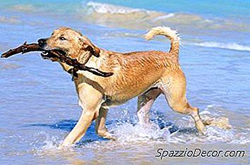 Strumenti Consigliati Per Un Labrador Retriever'S Coat