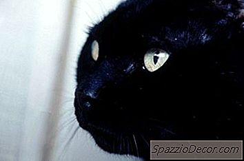 Îmbunătățirea Pasajele Nazale Umflate La Pisici