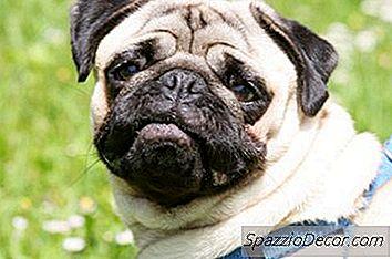 ¿Deberían Los Pugs Usar Un Arnés O Un Collar?