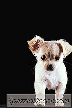 Effetti Secondari Del Cambio Del Cibo Per Cuccioli Per Chihuahua