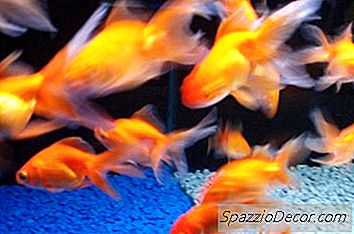Tank Mates Para Common Goldfish