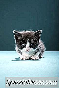 Derde Oogliduitstrekking Bij Katten