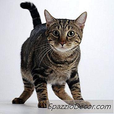 Tremores Ou Convulsões Em Gatos