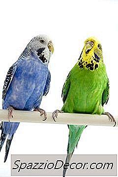 Tipos De Pájaros Budgie