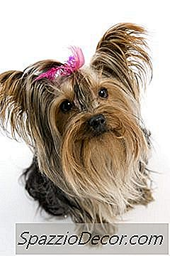Tipos De Yorkie Haircuts Para Yorkshire Terriers