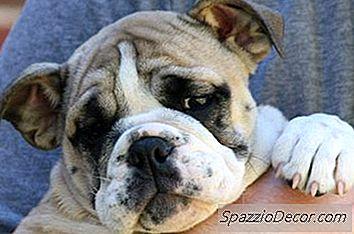 Progresso Do Peso Em Filhotes Bulldog