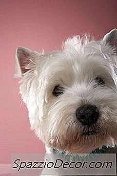 Westie Maltese Behavior