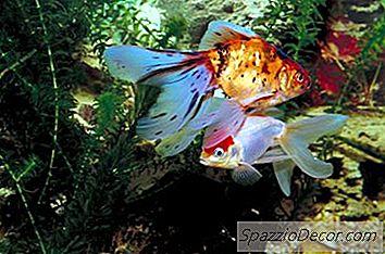 Vad Ar Orsakerna Till Guldfisk Som Spitar Ut Mat 2020