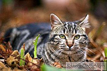 Hvad Er Kattekagerne Til Huskatte?