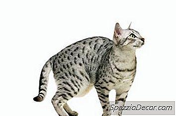 Ceea Ce Înseamnă Atunci Când Pisicile Își Pun Cozile Între Picioarele Lor