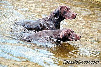 O Que Os Cães Têm Casacos Oleosos?