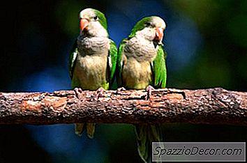 Hva Er Gjennomsnittsvekten For En Quaker-Papegøye?