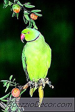 ¿Cuál Es La Diferencia Entre African Ringneck Y Indian Ringneck Parrots?