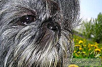 Ce Este Diferența Dintre Rasele De Câini Lhasa Apso Și Shih Tzu?