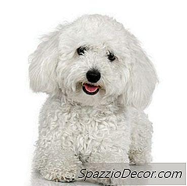Wat Is Het Verschil Tussen Een Toy Poodle & Bichon Dog?
