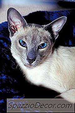 Wat Is De Verwachte Levensduur Van Een Blue-Point Siamese Kat?