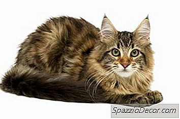 ¿Qué Tipo De Gato Tiene Pelaje Espeso Y Cola Larga?