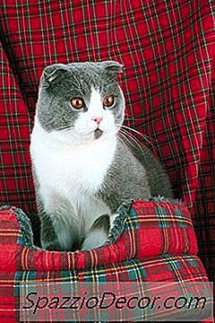 ¿Qué Tipo De Gato Tiene Orejas Muy Cortas?