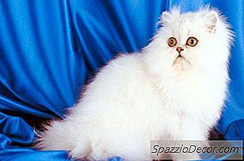 Hvilken Type Katte Har Flade Næse?
