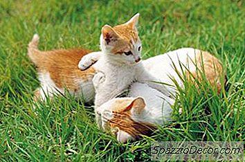 Por Que Os Gatos Se Lambem Quando São Cumprimentados?