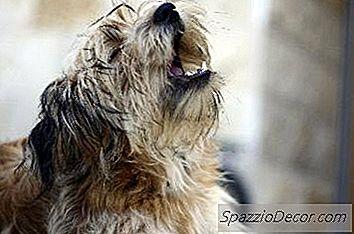 Barking Er En Metode, Hvormed Hunde Kommunikerer Med Mennesker.