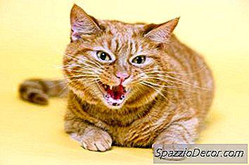 Por Que Um Gato Assobia Aleatoriamente Em Apenas Uma Pessoa?