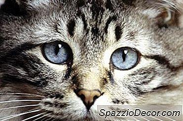 De Gemiddelde Bloedsuikertelling Voor Niet-Diabetische Katten