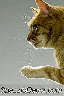 Manchas Calvas Nas Costas Das Patas De Um Gato