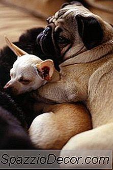 Traer Un Chihuahua A Un Hogar Con Otros Perros