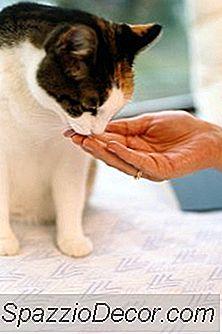 Pisicile Își Pierd Interesul În Mâncarea Lor?