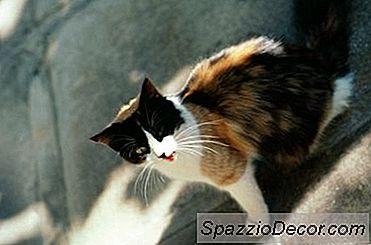 Pode Neutralizar Gatos Não Socializados Mudá-Los?