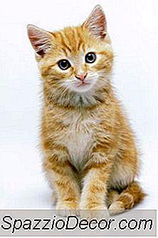 Você Pode Obter Outro Gatinho Depois Que Um Morre De Fip?