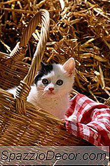 Cat Cinomose E Herpes
