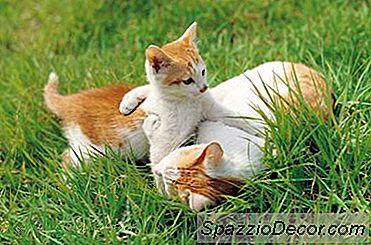 Årsager Til Anfald Hos Katte