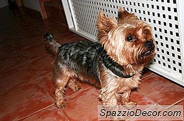 Información Del Cachorro Chorkie